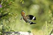 Eurasian Hoopoe (Upupa epops) flying with prey, Bulgaria