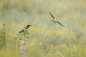European Bee-eater (Merops apiaster) wings wide opened, Bulgaria