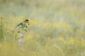 European Bee-eater (Merops apiaster) rejecting a pellet, Bulgaria