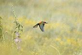 European Bee-eater (Merops apiaster) in flight, Bulgaria