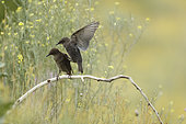 Spotless starling (Sturnus unicolor) juveniles on a branch, Bulgaria