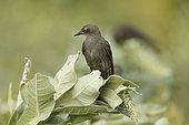 Spotless starling (Sturnus unicolor) juvenile, Bulgaria