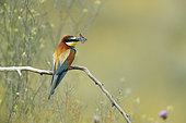 European Bee-eater (Merops apiaster) holding a butterfly , Bulgaria