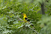 Golden Oriole (Oriolus oriolus) male holding a cigala with its bill, Bulgaria