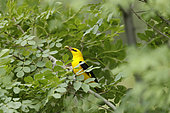Golden Oriole (Oriolus oriolus) male holding a caterpillar with its bill, Bulgaria