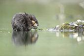 Muskrat (Ondatra zibethicus) eating plants in water, Alsace, France