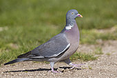 Common Wood Pigeon (Columba palumbus), side view of an adult standing on the ground, Abruzzo, Italy