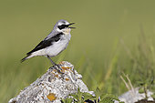 Northern Wheatear (Oenanthe oenanthe), side view of an adult male singing from a rock, Abruzzo, Italy