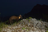 Pine Marten (Martes martes), adult walking on a rocky ground at nighttime, Campania, Italy