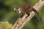 Pine Marten (Martes martes), adult sitting on an old trunk, Campania, Italy