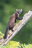 Pine Marten (Martes martes), adult climbing an old trunk, Campania, Italy