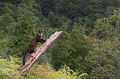 Pine Marten (Martes martes), adult climbing an old trunk in a mountain landscape, Campania, Italy