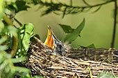 Blackbird (Turdus merula) chicks in nest, France