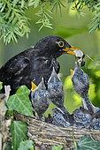 Blackbird (Turdus merula) male and chicks in nest, France