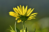 Cultivation of Cup plant (Silphium perfoliatum), a plant native to North America, for methanisation, Brognard, Doubs, France
