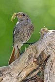 Black Redstart (Phoenicurus ochruros) female feeding, France