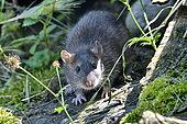 Brown rat (Rattus norvegicus) portrait, France