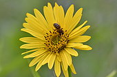 Bee on Cup plant flower, Cultivation of Cup plant (Silphium perfoliatum), a plant native to North America, for methanisation, Brognard, Doubs, France
