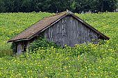 Old barn, Cultivation of Cup plant (Silphium perfoliatum), a plant native to North America, for methanisation, Brognard, Doubs, France