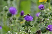 Bee on Common thistle (Cirsium vulgare) flowers, Brognard, Doubs, France
