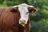 Maine Anjou cow, portrait in the field, France