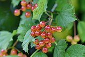 European cranberrybush (Viburnum opulus) fruits, France