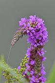 Purple loosestrife (Lythrum salicaria) and spider web, France
