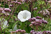 Field Bindweed (Convolvulus arvensis) flower, France