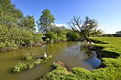 Mute swan (Cygnus olor) in a river, Bourbeuse valley, Brebotte, Territoire de Belfort, France