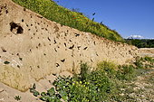 Sand Martin (Riparia riparia) nest, nesting site, quarry in operation, Oselle, Doubs, France