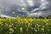 Rape (Brassica napus) field in bloom under a stormy sky, France