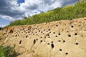 Hirondelle de rivage (Riparia riparia) terrier, site de nidification, carrière en exploitation, Oselle, Doubs, France