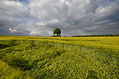 Isolated tree on the horizon and weathered wheat, Meziré, territoire de Belfort, France