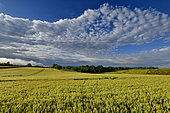Cloud formations and mist at sunrise over a barley field, Brognard, Doubs, France