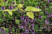 Young common beech (Fagus sylvatica) and wild thyme in flower, France