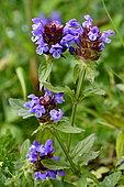 Aleutian selfheal (Prunella vulgaris) in bloom, France