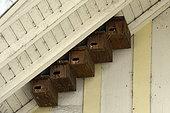 Nichoirs de Martinet noir (Apus apus) installés sous l'avancée d'un toit, Montbéliard, Doubs, France