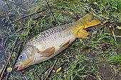 Carp fishing, Malsaucy pond in Belfort, France