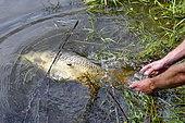 Carp release, Carp fishing, Malsaucy pond in Belfort, France