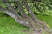 Tree with horizontal trunk development, France