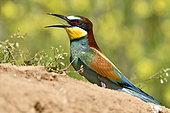 Guêpier d'Europe (Merops apiaster) au sol, site de nidification, carrière en exploitation, Oselle, Doubs, France