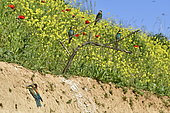 Guêpier d'Europe (Merops apiaster) au nid, site de nidification, carrière en exploitation, Oselle, Doubs, France