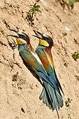 Guêpier d'Europe (Merops apiaster) couple au sol, site de nidification, carrière en exploitation, Oselle, Doubs, France