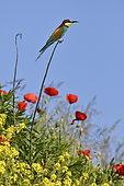 Guêpier d'Europe (Merops apiaster) sur une branche, site de nidification, carrière en exploitation, Oselle, Doubs, France