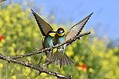 Guêpier d'Europe (Merops apiaster) couple sur une branche, site de nidification, carrière en exploitation, Oselle, Doubs, France