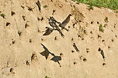 Hirondelle de rivage (Riparia riparia) au nid, site de nidification, carrière en exploitation, Oselle, Doubs, France