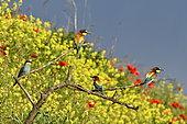 Guêpier d'Europe (Merops apiaster) groupe sur une branche, site de nidification, carrière en exploitation, Oselle, Doubs, France