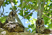 Long-eared Owl (Asio otus) Juveniles on a branch, France