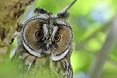 Long-eared Owl (Asio otus) portrait of juvenile, France