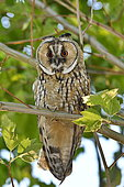 Long-eared Owl (Asio otus) Juvenile on a branch, France
